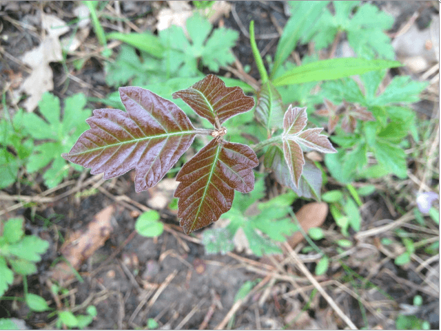 red poison ivy leaves